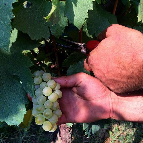 franciacorta harvest quality 2015